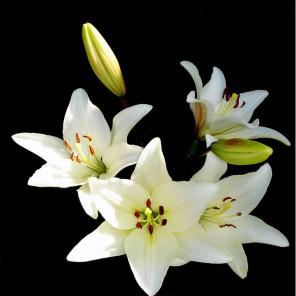 Белые лилии Алмазная мозаика вышивка на подрамнике Molly KM0896